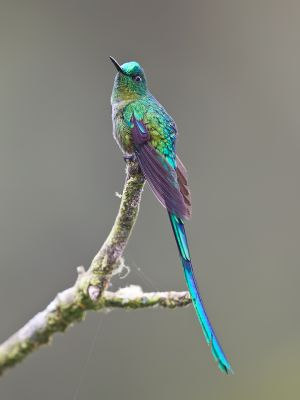 Long-tailed Sylph (male)