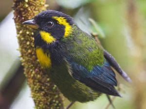 Golden-ringed Tanager