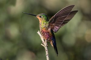 Blue-throated Starfrontlet (female)