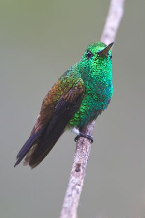 Copper-rumped Hummingbird