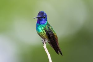 Golden-tailed Sapphire (male)