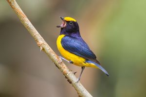 Orange-bellied Euphonia (male)