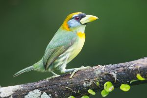 Red-headed Barbet (female)